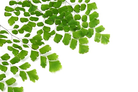 Adiantum fern leaves  on white background Stock Photo - 19758957