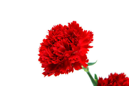 elegant carnation for mothers day image photo