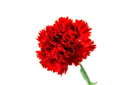 elegant carnation for mother photo