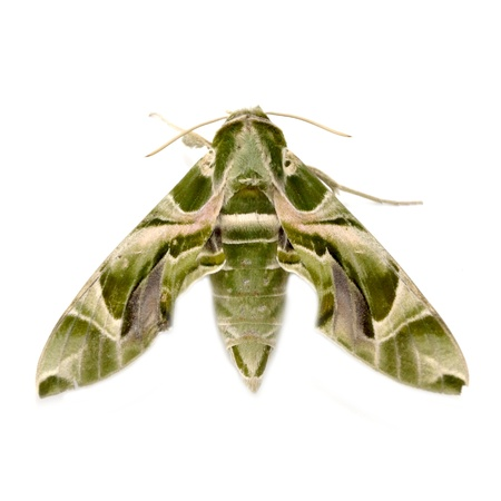 deilephila: Oleander Hawk moth (Daphnis nerii) isolated on white