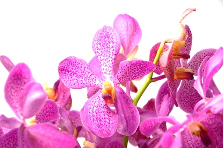 Pink mokara orchids isolated on white background.