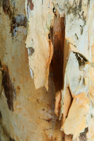 natural moody: Bark used to make paper. Stock Photo