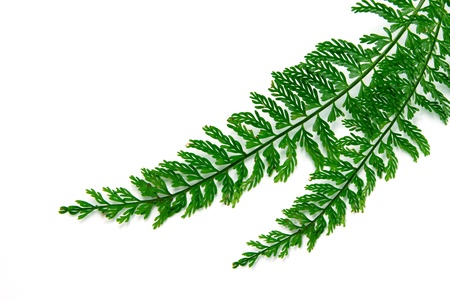 Tuber Sword Fern, Sword Fern.  photo
