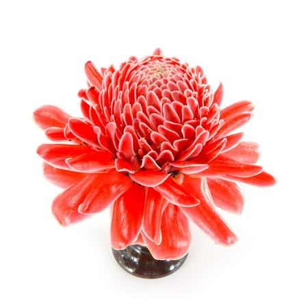 Tropical Red flower of etlingera elatior photo