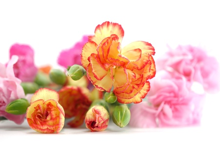 close up spray carnation flower photo