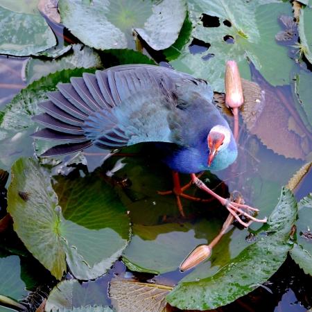 jacana: Bronze-winged Jacana bird in lotus lake, South of Thailand. (Metopedius indicus.)