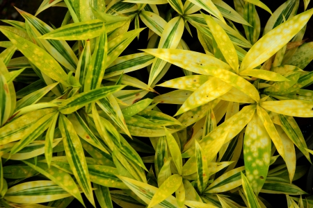 golddust: Foliage leaves of dracaena, Gold-dust dracaena or Spotted dracaena. Stock Photo