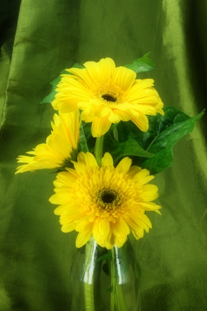 Yellow African daisy (gerbera)  on green fabric background. photo