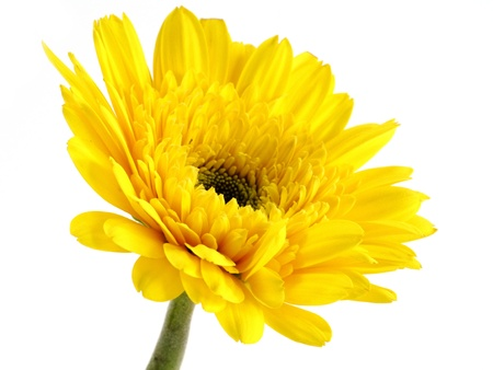 African daisy (gerbera) isolated on white background. Stock Photo - 20023104