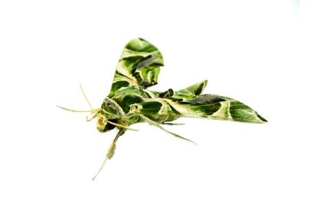 deilephila: Oleander Hawk moth isolated on white