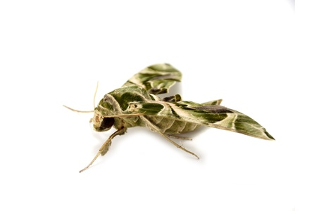 deilephila: Oleander Hawk moth isolated on white