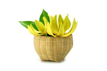 mig: Yellow flower of Bhandari on white background., Scientific name: Artabotrys siamensis Mig.