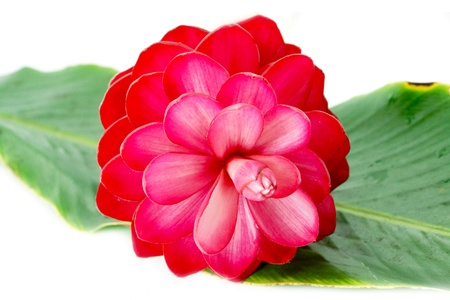 beautiful tropical red ginger flower on isolate white background. photo