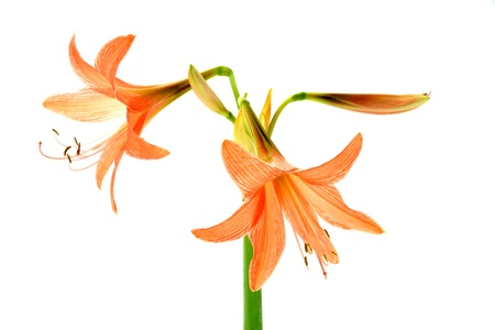 Orange Amaryllis flower blooms in springtime on white background. photo