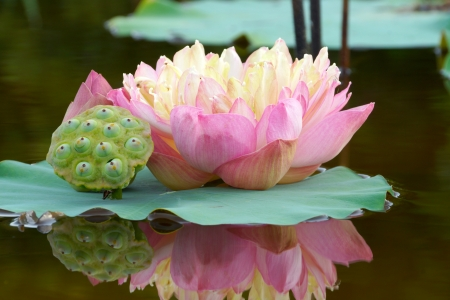 garden pond: Beautiful lotus flower