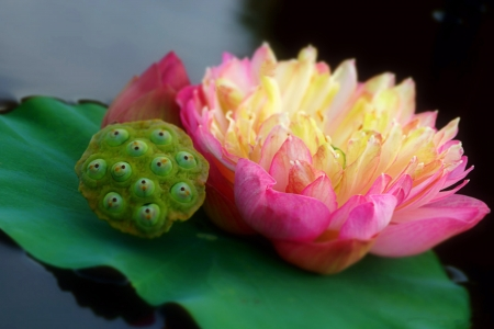 Beautiful lotus flower. photo