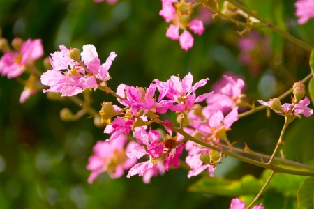 myrtle green: Pink color of Queens crape myrtle flower.(Lagerstroemia speciosa (L.) Pers.)