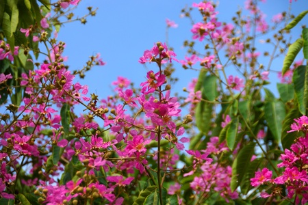 Pink color of Queen's crape myrtle flower.(Lagerstroemia speciosa (L.) Pers.) photo
