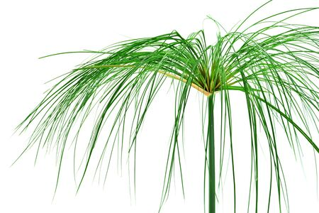 papyrus: Egyptian papyrus. (Cyperus papyrus L.)