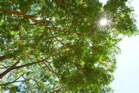 samanea saman: Branches and leaves of trees. (Samanea saman (Jacg.) Merr.) Stock Photo