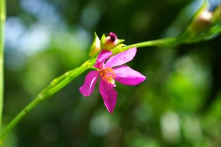 potherb: Pink flower of potherb fameflower  Talinum paniculatum Gaertn