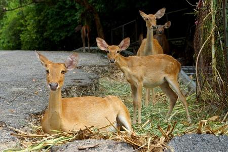 cervus: Elds Deer - Brown antlered Deer. (Cervus eldii) Stock Photo
