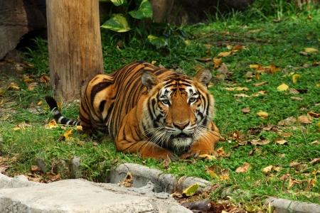 panthera tigris sumatrae: Bengal tiger Stock Photo