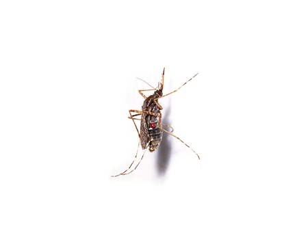 albopictus: Mosquitoes spawn isolated on white background. Stock Photo