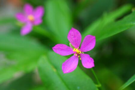potherb: Flor rosa de potherb fameflower Talinum paniculatum Gaertn