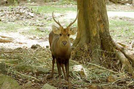 cervus: Rusa Timor Deer   Cervus timorensis  Stock Photo