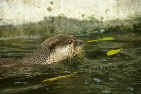 small clawed: Smooth-Coated Otter swimming. (Lutragole Perspicillata) An oriental small-clawed otter  Aonyx cinerea  Asian small-clawed otter