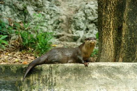 aonyx: Smooth-Coated Otter (Lutragole Perspicillata). An oriental small-clawed otter  Aonyx cinerea  Asian small-clawed otter