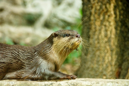 aonyx cinerea: Smooth-Coated Otter (Lutragole Perspicillata). An oriental small-clawed otter  Aonyx cinerea  Asian small-clawed otter