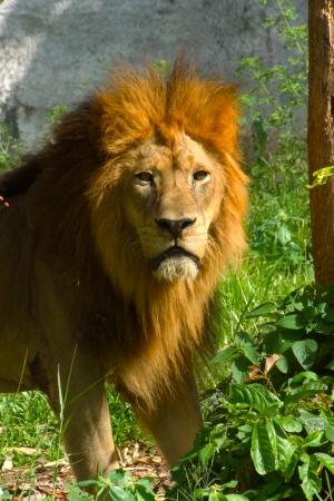 panthera tigris sumatrae: Lion in the zoo