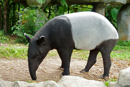 malayan tapir (tapirus indicus) Thailand.