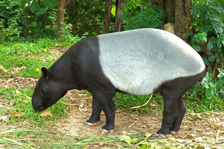 malayan tapir (tapirus indicus) Thailand. photo