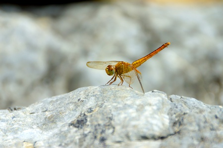 close up a dragonfly on the rock. photo