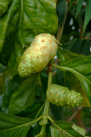 great morinda: Unripe and Ripe Great Morinda on the tree.