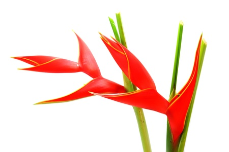 heliconiaceae: Beautiful Heliconia H stricta Huber Fire Bird blooming on isolate white background.