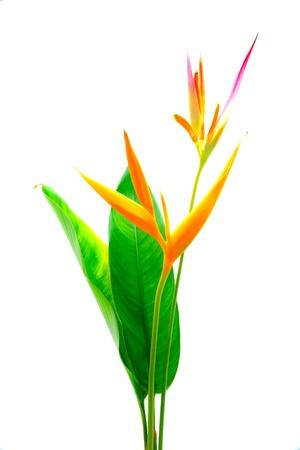 heliconiaceae: Heliconia : Golden Torch., Orange Torch. (H.psittacorum L.f. x H. spathocircinata Aristeguieta) blooming on isolate white background.