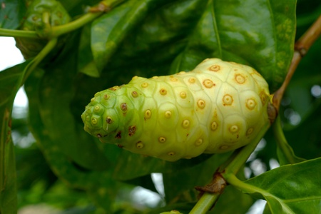 great morinda: Unripe and Ripe Great Morinda on the tree.