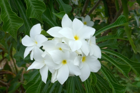 Branch of tropical white flowers frangipani plumeria on dark branch of tropical white flowers frangipani plumeria on dark green leaves background stock photo mightylinksfo