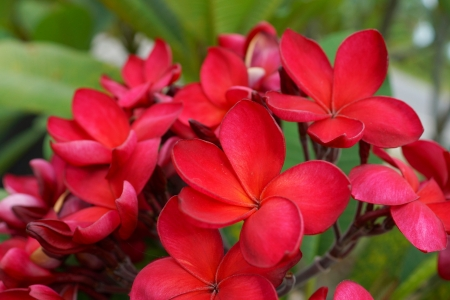 Branch of tropical red flowers frangipani (plumeria) on dark green leaves background photo