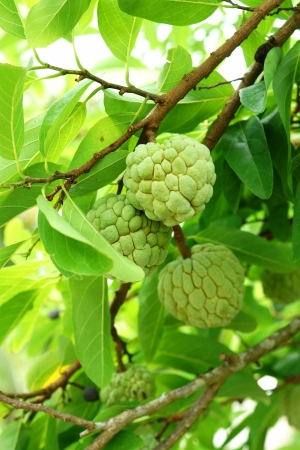 annona squamosa: Custard apple fruit on tree. (Annona squamosa) Stock Photo