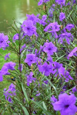 petunia wild: wild petunias.