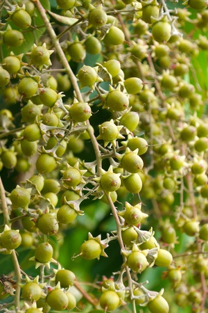 Seeds of Queens crape myrtle.  photo