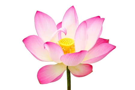 Beautiful white and pink lotus (Nelumbo nucifera) Stock Photo