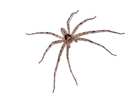 necrosis: Hairy house spider (Tegenaria domesticus) on white background