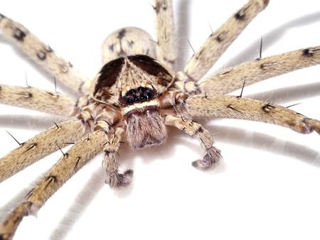Hairy house spider (Tegenaria domesticus) on white background photo