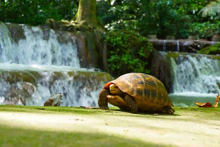 Wild turtles in small waterfall at Than Bok Khorani National Park, Thailand. photo